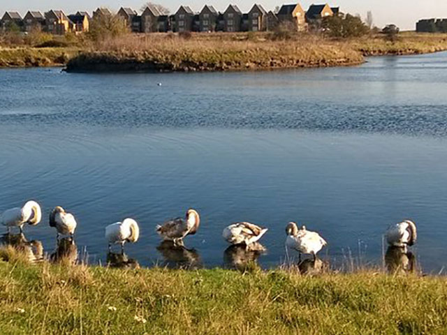 gunners park swans C